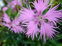 2011年9月(長月)身体に効く秋の七草の画像