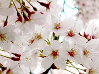 2011年4月(卯月)春はあけぼのの画像
